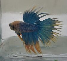 Male Crowntail Betta (14)