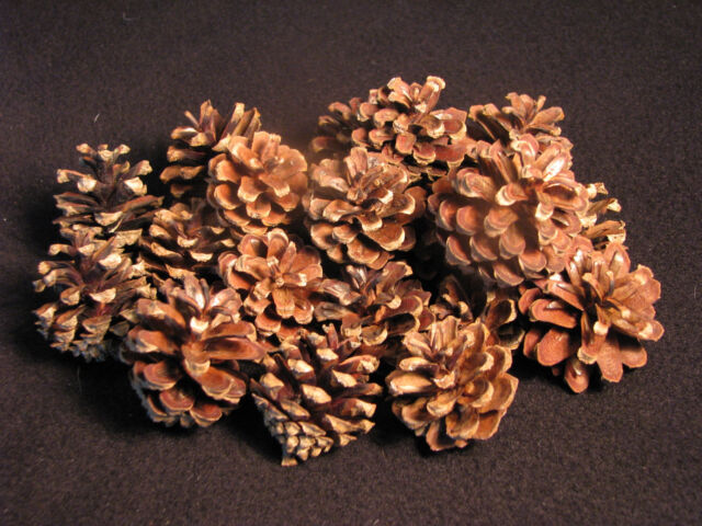 20 small Real Scotch pine cones excellent for arts & crafts or floral decore