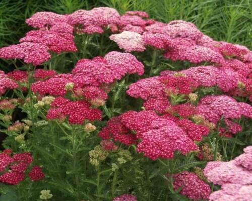 Yarrow SAUCY SEDUCTION Achillea Seeds Perennial Easy to Grow 50 Seeds