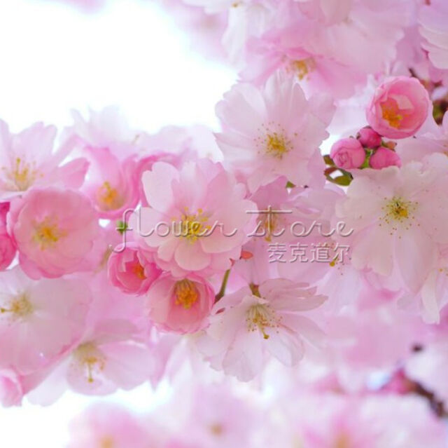20 JAPANESE CHERRY TREE Pink Cloud Oriental Sweet  Flower Seeds Perfect Garden F