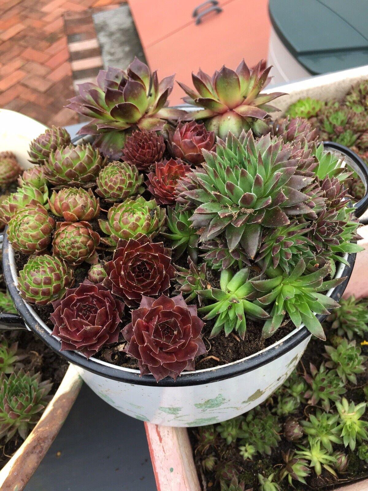 10 Sempervivum Plants Hens And Chicks Succulents Rock Garden Cold