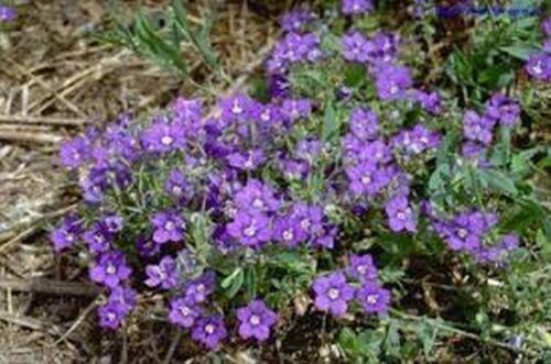 100 seeds Legousia Blue Legousia Speculum-veneris