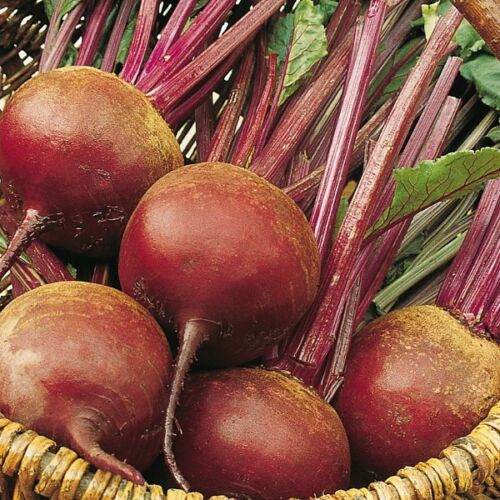 250 Seeds Suffolk Herbs Organic Beetroot Bolivar