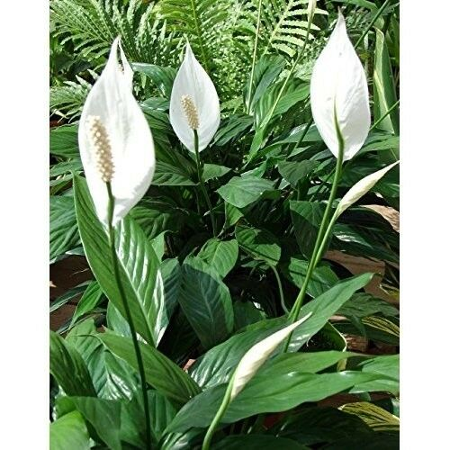 Peace Lily Plant Spathyphyllium Great House Plant 4