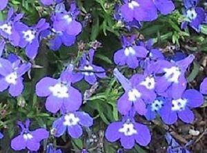 50 Multi Pelleted Seeds Lobelia Seeds Riviera Marine Blue Flower Seeds