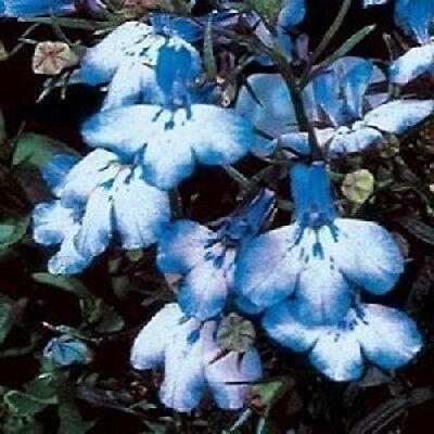 200 SKY BLUE LOBELIA REGATTA Erinus Flower Seeds CombSH