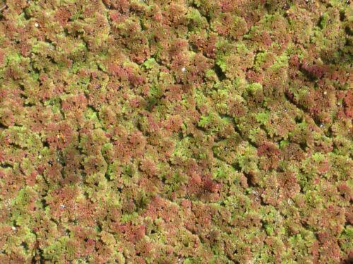 Muschio di felce-Muschio di Fata-AZOLLA laghetto piante acqua pianta schwimmpflanze