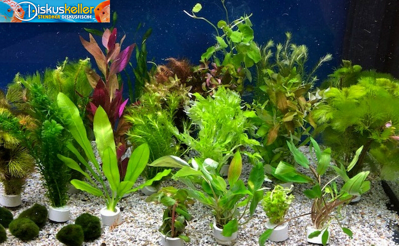 Wasserpflanzen Set 20 gemischte Bunde Bunde Bunde   Aquariumpflanzen + Mooskugel gratis 0be8e8