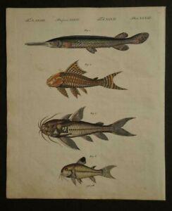 Orig-Kupferstich-Bertuch-FISCHE-fishes-Knochenhecht-inkl-Textblatt-O5
