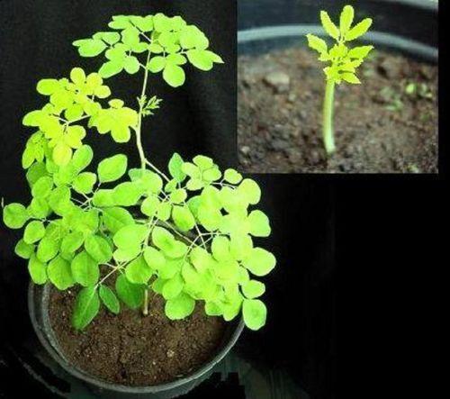 rasend schnell wachsend:  Meerrettichbaum wächst jeden Tag mehrere Zentimeter