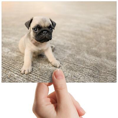 Tiny Pug Puppy Dog Cute Baby Small