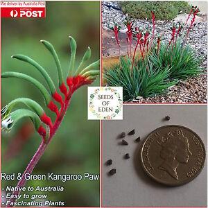 RED-amp-GREEN-KANGAROO-PAW-SEEDS-Anigozanthos-manglesii-Australian-Native