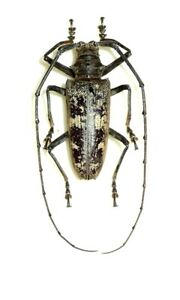Details about Cerambycidae: Batocera gerstecki    Indonesia   Good examples  of this type
