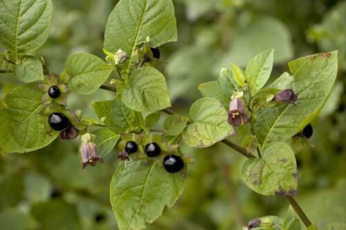 Atropa belladonna 50 semi di Belladonna