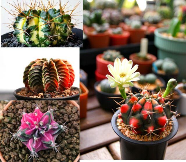 COLOR SUCCULENT MIX rare plant exotic cactus flower succulents seed 30 seeds