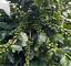 thumbnail 5 - 5 LBS HONDURAS HONDURAN FRESH UNROASTED GREEN COFFEE BEANS - ARABICA