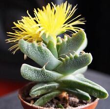 Faucaria Tigrina - 15 Seeds - Tigers Jaw - South African Succulent Mesemb