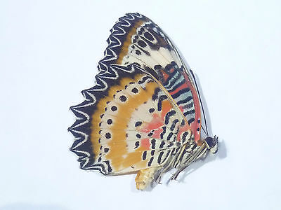 Cethosia cyane euanthes,  UNMOUNTED,  SIN MONTAR  A1   BUTTERFLY