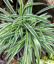 2 Live VARIGATED Spider Plants Nature's Air Cleaner bare root ORGANIC plants