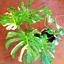 Palm-Turtle-Plants-Tree-Monstera-Ceriman-Bonsai-Home-Courtyard-100-PCS-Seeds-NEW thumbnail 5