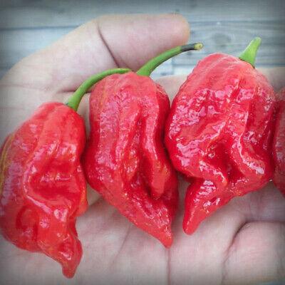 7 Pot Jonah 100 Seeds World Record Hot Pepper Seeds Garden Vegetable