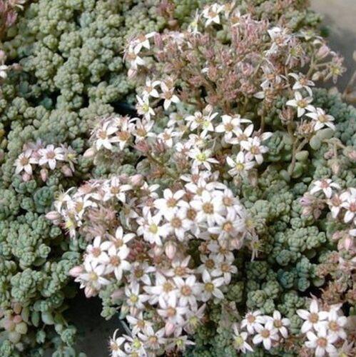 Sedum dasyphyllum Trockenmauer Teppichsedum