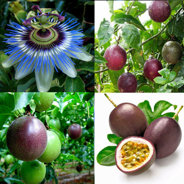 10pcs tropical exotic passion fruit seeds purple passiflora edulis germinationTB