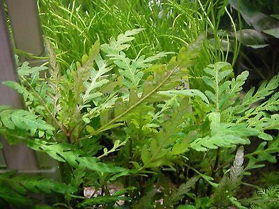2 bouquets de Hygrophylia pinnatifida  plante rare crevette discus