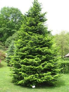 Abies Grandis Grand Fir Stately Christmas Tree Grown