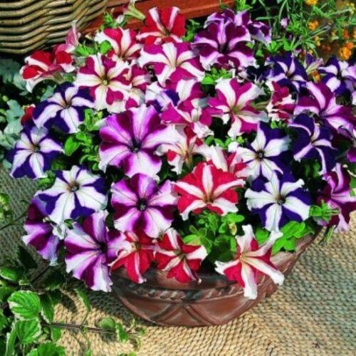 100 Star Mix Petunie Gemischt Farben Petunie Violacea Blumensamen Rot Blau Lila