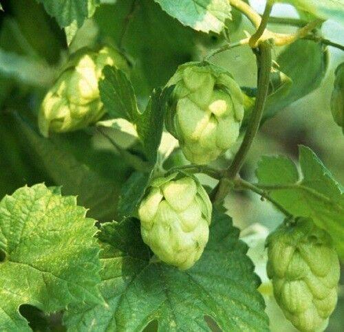30 Seeds Suffolk Herbs Hop