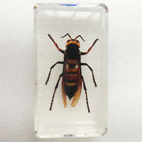 Asian Giant Tiger HornetVespa Mandarinia Insect Specimen In Clear Lucite