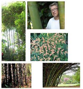 Unser Spezieller Bambus Set 5 Seltene Bambus Sorten Zu Einem