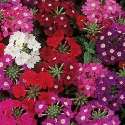 50 Verbena Seeds Quartz XP Mix Verbena Seed