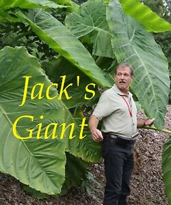 JACK-039-S-GIANT-Colocasia-esculenta-HUGE-TARO-LARGE-SIZE-Plant-in-small-pot