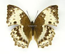 Unmounted Butterfly/Nymphalidae - Harma theobene, FEMALE, CAR
