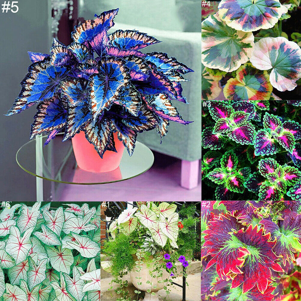 50ps Coleus Flower Seeds Home Garden Yard Leaf Plant Potted Bonsai