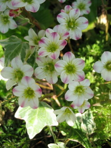 Mossy Saxifraga Highlander White Seeds Evergreen Perennial Ground Cover Alpine