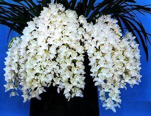 Cymbidium-Sarah-Jean-034-Ice-Cascade-034-Cascading-Orchid