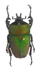 Beetle, Cetonidae, Stephanocrates bennigseni male ex Katanga, Zaire, n211a