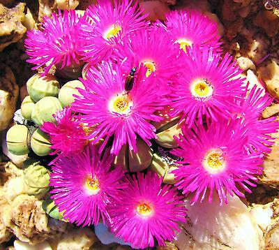 Argyroderma framesii rare mesembs exotic succulent cactus seed stones 50 SEEDS