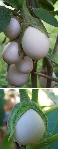 Ein Gag für den Blumenstrauß oder für Ostern : Eierbaum - schmeckt gut ! Samen