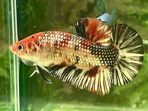 betta fish male giant Koi Copper Size2 1/4(read Terms Before Buy)(we Refund