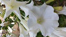 BRUGMANSIA ARBOREA a28 Tromba dell'angelo pianta alveolo Angel's trumpet plant