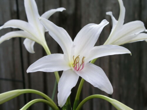 large Crinum Lily Summer Maiden blooming-size bulb