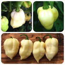 Fatalii white weiße Chili extrem scharfe Chilli fruchtiges Aroma seltene Sorte