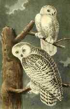 A4 Photo Audubon Birds of America 1840 Snowy Owls Print Poster