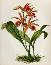 Lovely Vintage Red ORCHID Print Botanical Flower Print Cottage Decor Phaius 1607