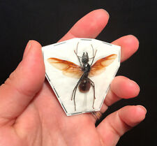 Entomologie Insecte Fourmis Future reine / Queen Camponotus gigas A1!!RARE!!