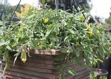 Tomato, TINY TIM DWARF CHERRY, 25 Heirloom, Non-gmo Seed, FREE SHIPPING